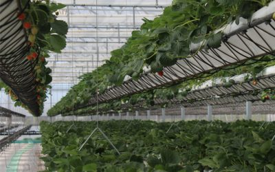 spotlight: desert hydroponics at sundrop farms, australia