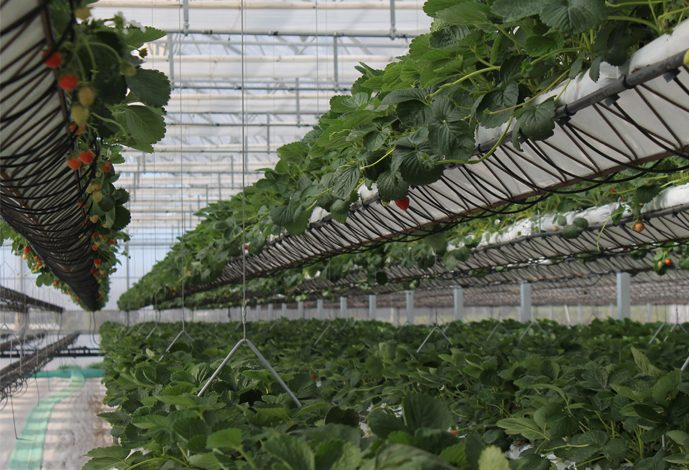 spotlight: desert hydroponics at sundrop farms, australia